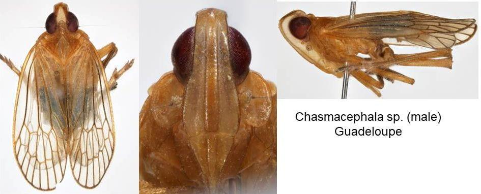Chasmacephala sp. Guadeloupe