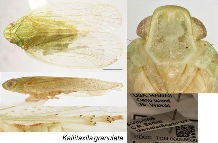Kallitaxila granulata