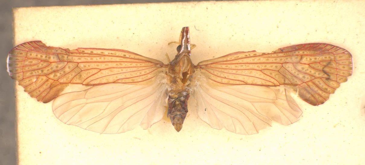 Apache degeeri (Spencer Entomological Collection, Beaty Biodiversity Museum, UBC, Canada)