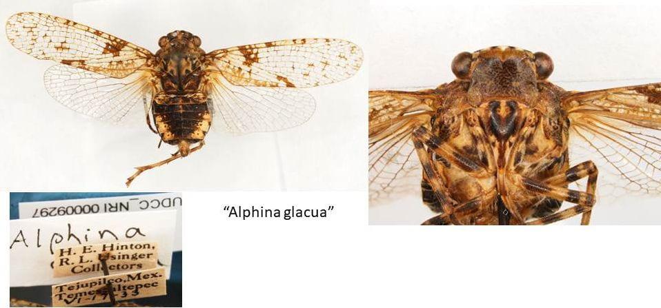 Alphina glacua