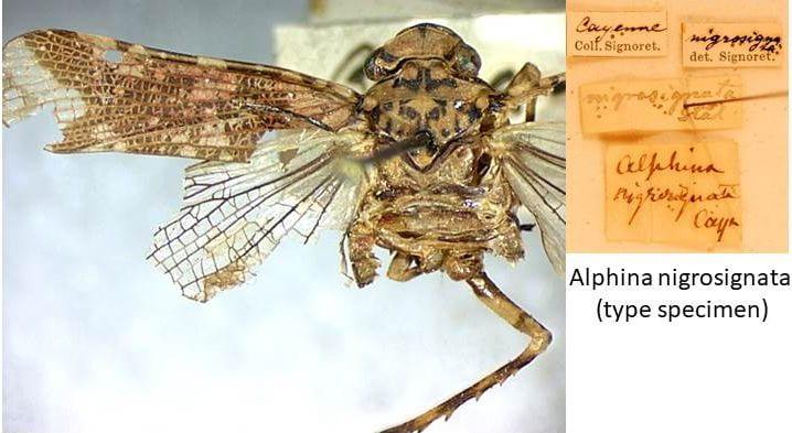 Alphina nigrosignata type specimen