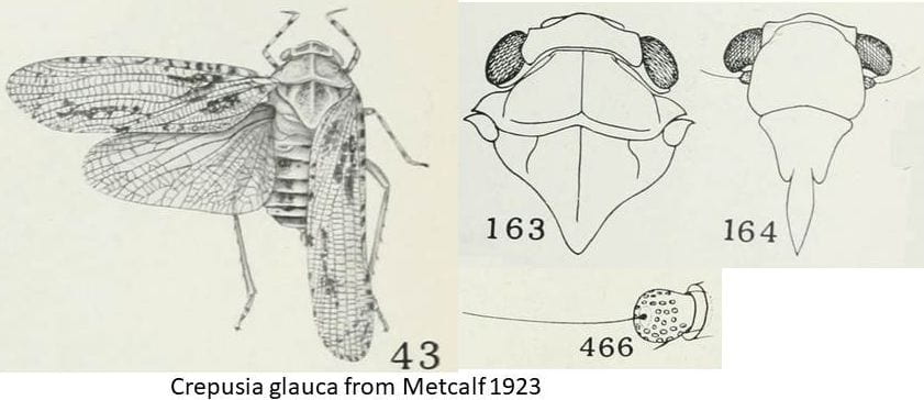 Crepusia glauca (Alphina) from Metcalf 1923 compiled