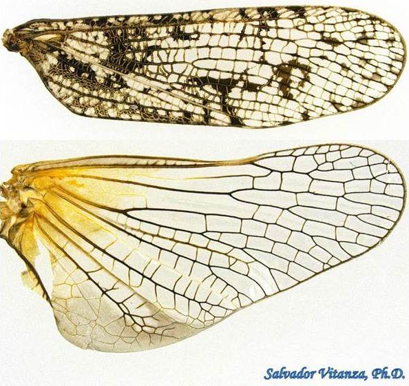 Wings of Alphina glauca by salvador vitanza