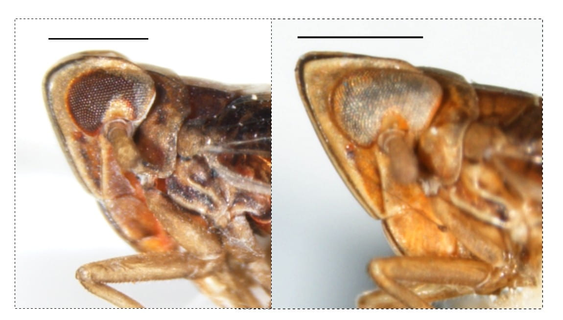 Stenocranus brunneus and acutus
