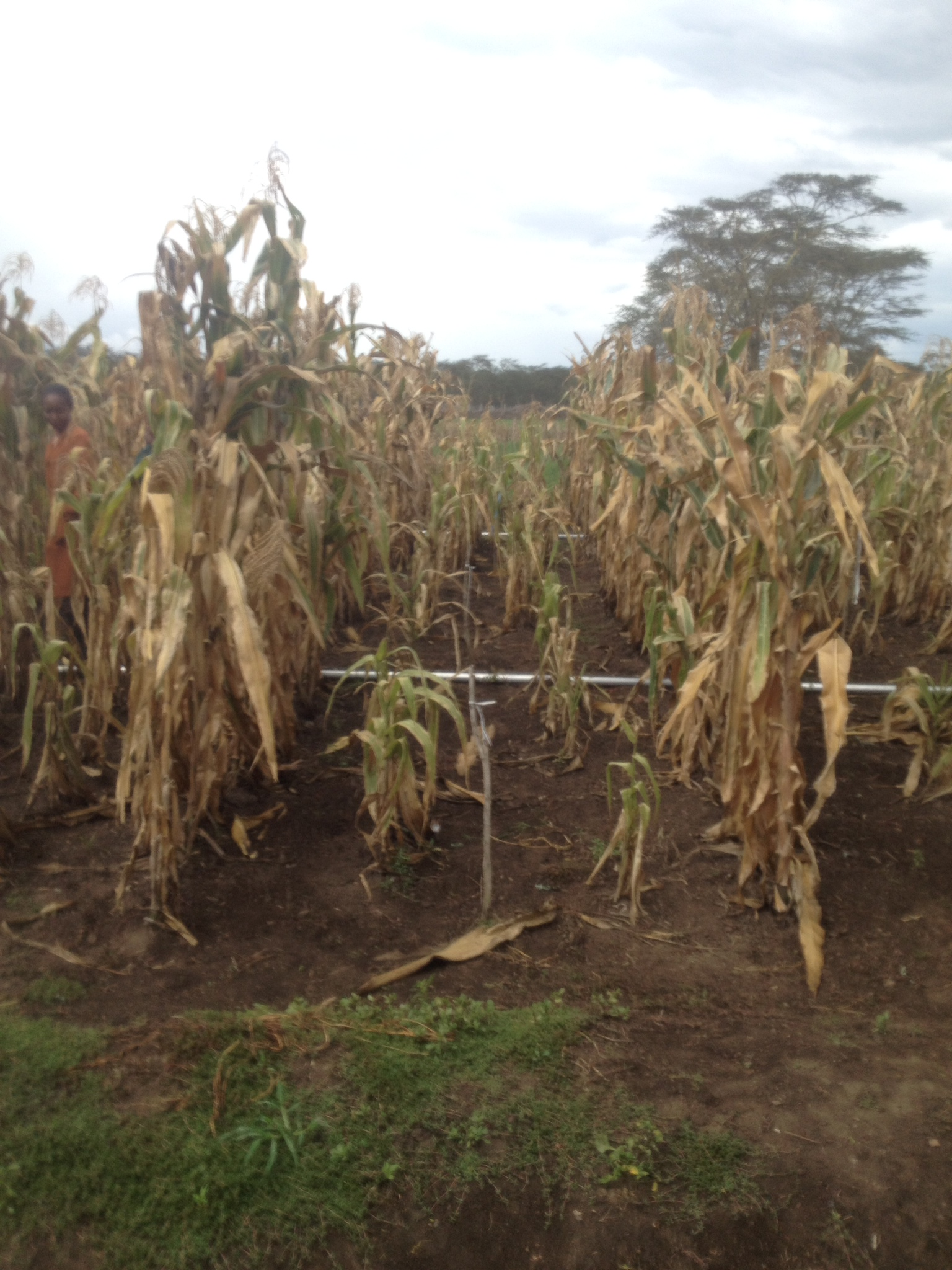 Devistaing effect of MLN in Naivasha