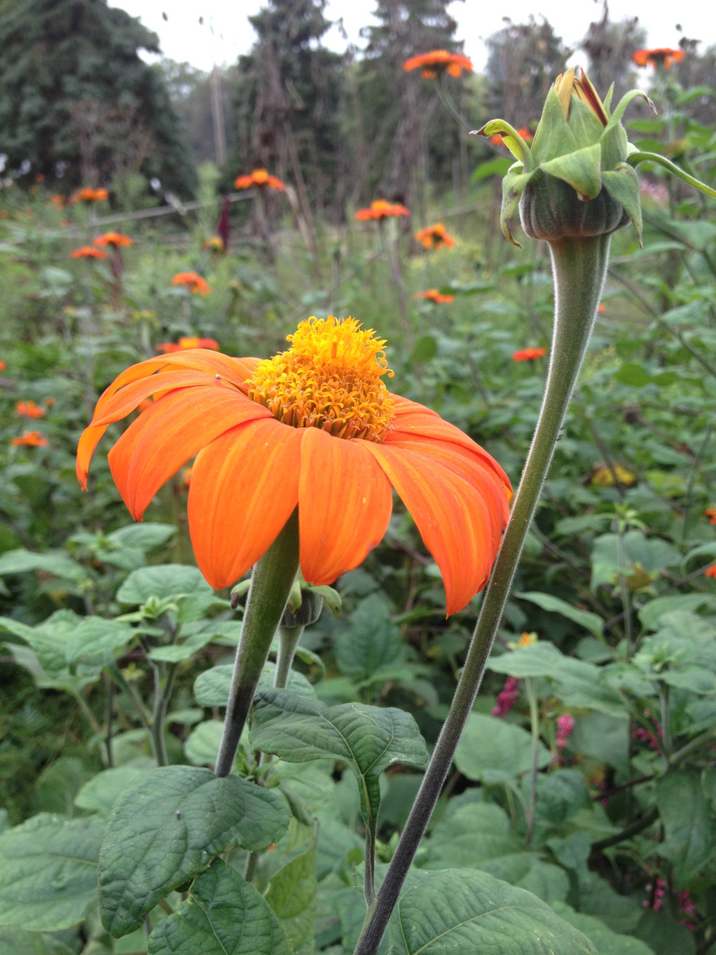 mexican sunflower at fairhill farm by maddy becker