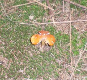 Lum's Pond mushroom Barb Mitchell 9/27/14