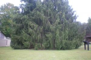 Majestic spruce