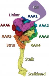 Dynein motor domain