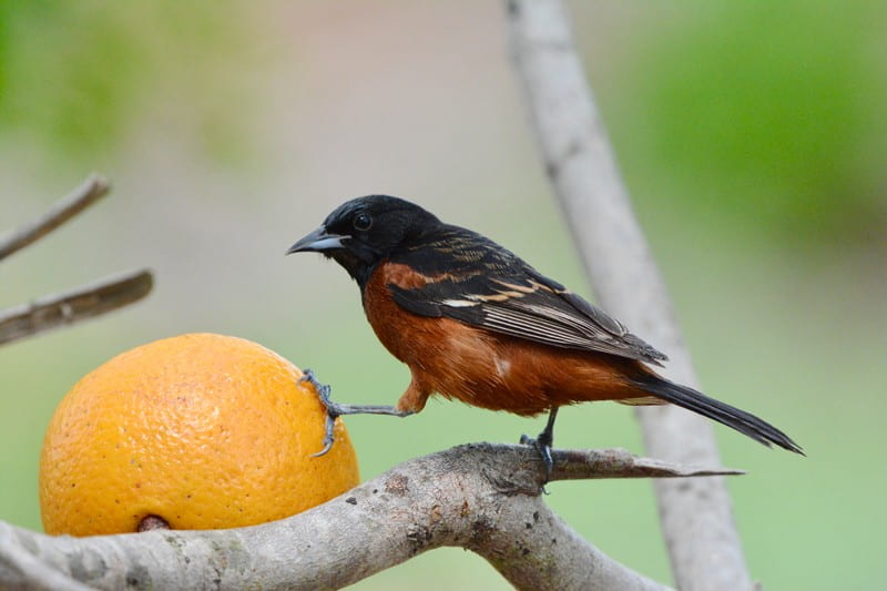 Migratory bird populations face rapid declines due to many interacting factors including light pollution, climate change, and habitat loss and degradation. Researchers hope that the stopover-to-passage ratio can offer additional insight and renewed interest in understanding stopover sites. Pictured here: Orchard Oriole. Photo courtesy of Kyle Horton.