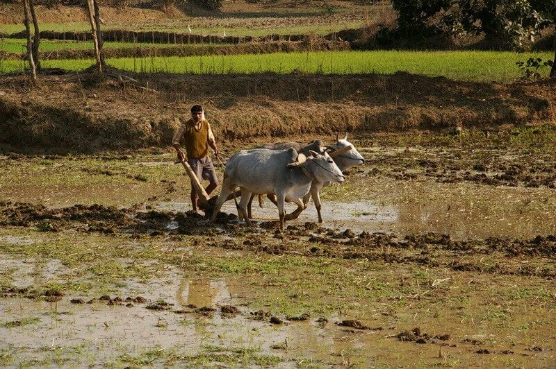 Rice is usually a monsoon crop in India, but this farmer sows a field of rice in winter. Photo courtesy of Pinki Mondal.
