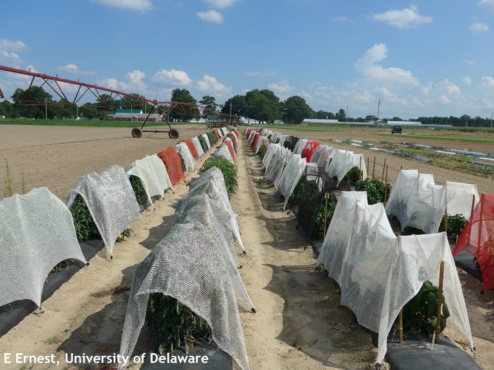 A trial testing different colored shade cloth for tomato and pepper production