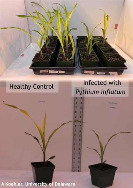 Pythium inflatum