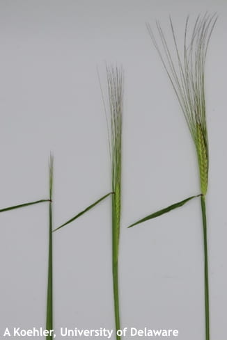 Figure 2. Stages of barley at or near spike emergence, with the furthest right spike at optimum stage for fungicide application.