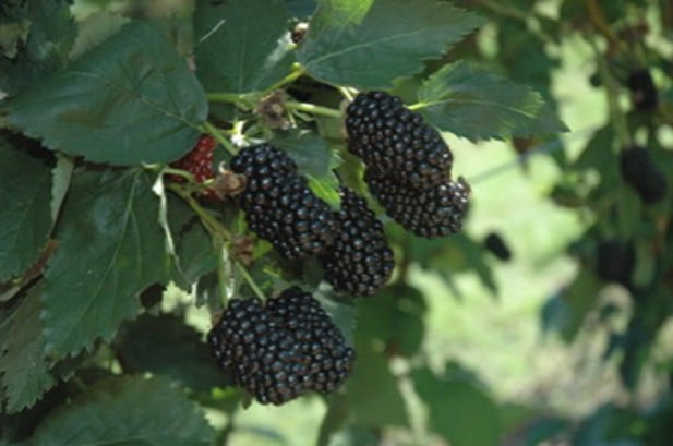 Prime Ark Freedom Blackberry – the original thornless primocane release with large berries well adapted to U-pick in Delaware.
