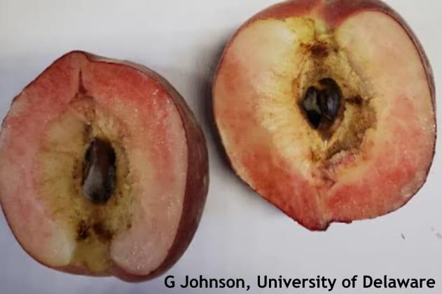 Split pit peach cut open.