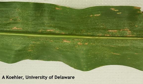 Figure 1. Rectangular lesions of Grey Leaf Spot on corn