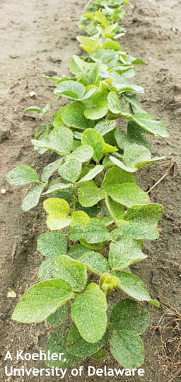 Figure 1. Soybeans with healthy looking foliage, but high levels of SCN in the soil