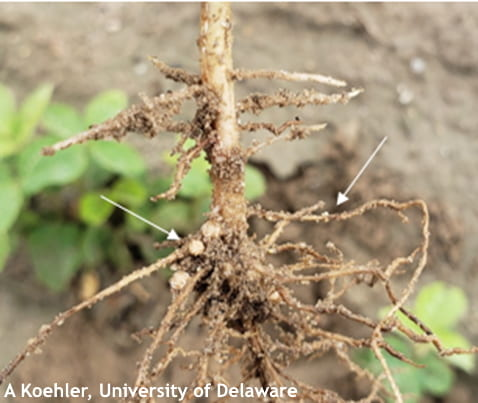 Figure 3: Soybean root system with nodulation (left arrow) and SCN females (right arrow)
