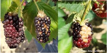 Sunscald in blackberries