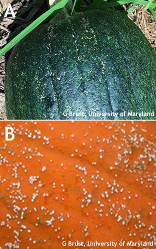 Figure 3. Plectosporium lesions on green fruit (A) and on orange fruit (B)