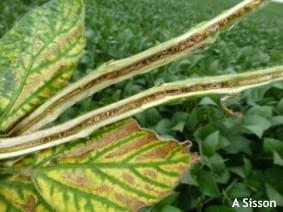 Foliar and stem symptoms of brown stem rot.