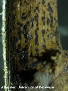 Small black dots (pycnidia) may be in rows on stem tissue