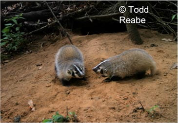 Two young badgers playing outside their burrow (Marquette Co).
