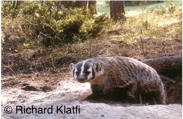 Badgers spend much of their time in burrows