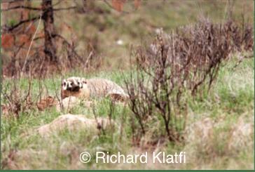 Typical badger habitat in Ontario