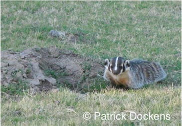 Badgers dig large holes when hunting for prey