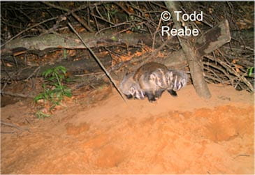 Badgers are solitary except when young