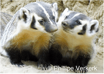 Two young badgers near their burrow