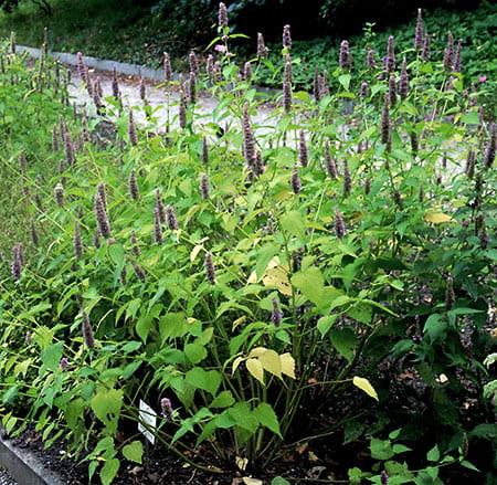 Anise Hyssop (Agastache foeniculum)