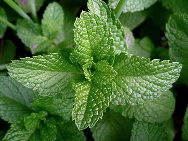 Mint (Mentha spp.)