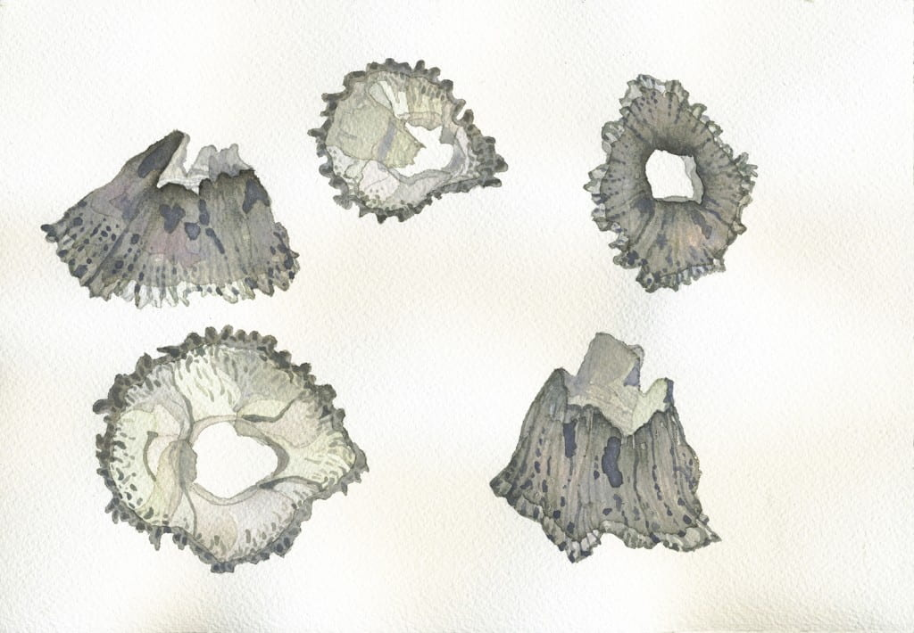 Barnacle Studies IV2016, watercolor on Arches, 7 x 10 inches