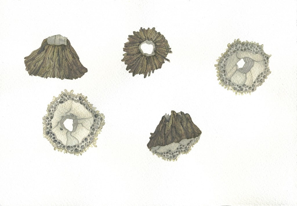 Barnacle Studies V2016, watercolor on Arches, 7 x 10 inches