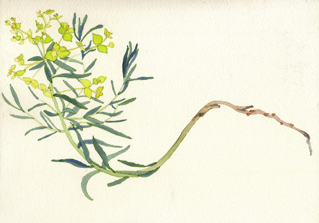 Death of a Leafy Spurge: Day 12014, watercolor on Arches, 7 x 10 inches