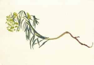 Death of a Leafy Spurge: Day 22014, watercolor on Arches, 7 x 10 inches