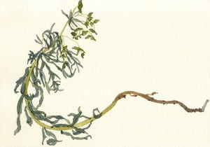 Death of a Leafy Spurge: Day 32014, watercolor on Arches, 7 x 10 inches