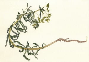 Death of a Leafy Spurge: Day 42014, watercolor on Arches, 7 x 10 inches