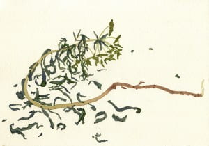 Death of a Leafy Spurge: Day 52014, watercolor on Arches, 7 x 10 inches