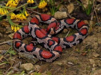 Snakes Of Missouri Missouri S Natural Heritage Washington University In St Louis