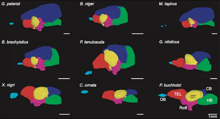 New maps hint at how electric fish got their big brains