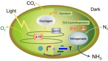 Minimal Nitrogen Fixing Tool in a Non-Diazotrophic Cyanobacterium