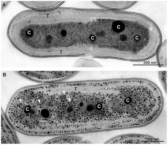 Accelerated Growth Rate in Synechococcus UTEX 2973