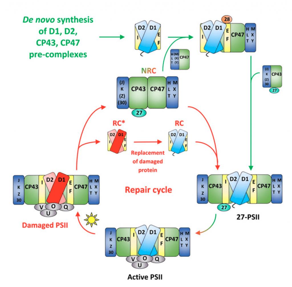 Photosystem II Life-Cycle