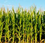 Photo of a corn field.