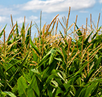Photo of a corn field under a bright blue sky.