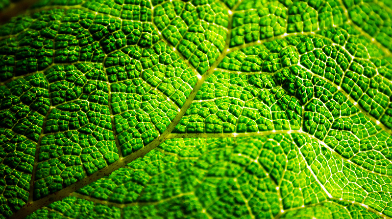 Close-up photo of the veins and ridges in a green leaf.